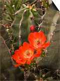 Claret Cup Cactus Flower (Echinocereus Triglochidiatus), Sonoran Desert, Arizona, USA Poster by Don Grall