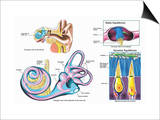 Illustration of the Normal Anatomy of the Human Inner Ear Enlarged View of the Labyrinth Posters by  Nucleus Medical Art