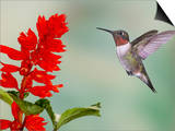 Broad-Tailed Hummingbird (Selasphorus Platycercus) Male Flying Art by Jack Milchanowski