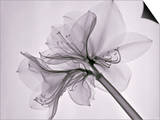 X-Ray of Amaryllis Flowers Posters by George Taylor