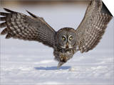 A Great Gray Owl Flying Close to Snowy Ground While Hunting, Strix Nebulosa, North America Print by Joe McDonald