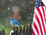 Male Mountain Bluebird (Sialia Currucoides) Waiting Out the 4th of July Snowstorm Posters by Alexander Badyaev