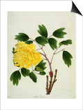 Yellow Peony, c.1800-1840 Posters