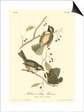 Hudson's Bay Titmouse Poster par John James Audubon