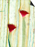 Cucurbita Plant Stem Showing Phloem and Sieve Plates Prints by Ken Wagner