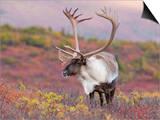 Caribou Bull (Rangifer Tarandus), Denali National Park, Alaska Prints by Tom Walker