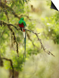 Resplendent Quetzal (Pharomachrus Mocinno), Costa Rica Prints by Gregory Basco