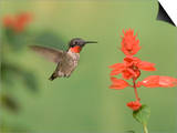 Male Ruby-Throated Hummingbird (Archilochus Colubris) at Salvia Posters by Steve Maslowski