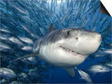 Great White Shark (Carcharodon Carcharias) Swimming Through a School of Smaller Fish Posters by David Fleetham