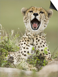 A Cheetah Yawning, Actinonyx Jubatus, East Africa Posters by Joe McDonald