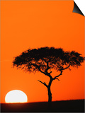 Accacia Tree Silhouetted at Sunrise, Masai Mara Game Reserve, Kenya Prints by Adam Jones