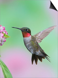 Male Ruby-Throated Hummingbird (Archilochus Colubris) at Swamp Milkweed Prints by Steve Maslowski