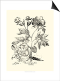 Black and White Besler Peony III Poster by Besler Basilius