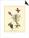 Ruff-neck Hummingbird Prints by John James Audubon