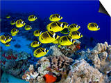 Schooling Raccoon Butterflyfish, (Chaetodon Lunula), Hawaii Posters by David Fleetham