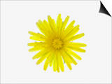 Dandelion Flower (Taraxacum Officinale), a Composite Art