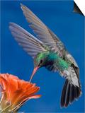 Broad-Billed Hummingbird Male (Cyanthus Latirostris) Nectaring at Claret Cup Cactus Flower Poster by Tom Walker