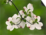 Flowering Dogwood Flowers, Cornus Florida, Louisville, Kentucky, USA Posters by Adam Jones
