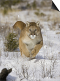 A Puma, Cougar or Mountain Lion, Running Through the Snow, Felis Concolor, North America Prints by Joe McDonald