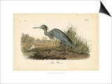 Audubon's Blue Heron Prints by John James Audubon