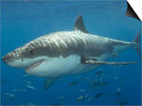 Great White Shark (Carcharodon Carcharias), Pacific Ocean Posters by Andy Murch