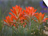Indian Paintbrush (Castilleja), Sangre De Cristo Mountains, Colorado, USA Prints by Don Grall