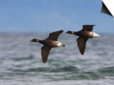 Brant Goose (Branta Bernicla) Flying, Victoria, British Columbia, Canada Art by Glenn Bartley