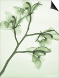 X-Ray of Orchid Flowers Print by George Taylor