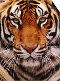 Bengal Tiger Face, Panthera Tigris, Asia Poster by Adam Jones
