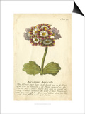 Non-Embellished Vintage Auricula II Posters by  Vision Studio