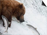 Grizzly Bear (Ursus Arctos Horribilis) Trying to Catch Salmon as They Leap the Falls Posters by Hal Beral