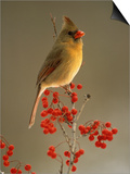 Female Northern Cardinal, Cardinalis Cardinalis, Among Hawthorne Berries Posters by Adam Jones