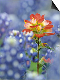 An Indian Paintbrush, Castilleja, Rises Up Amidst a Sea of Texas Bluebonnets, Lupinus Texensis Prints by Don Grall