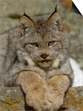 Canadian Lynx (Lynx Canadensis) Sitting on a Rock, USA Posters by Dave Watts