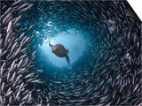 Galapagos Sea Lion (Zalophus Californianus Wollebacki) Swimming Through a Large School Prints by David Fleetham
