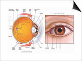 Illustrations Showing the Anatomy of the Human Eye from a Sagittal (Cut-Away) Posters by  Nucleus Medical Art