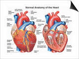 Normal Anatomy of the Human Heart Art by  Nucleus Medical Art