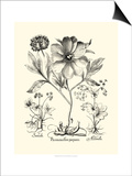 Black and White Besler Peony II Prints by Besler Basilius