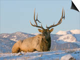 Elk (Cervus Elaphus), Yellowstone, Wyoming, USA Poster by Tom Walker