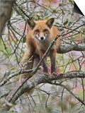 Red Fox in a Tree, Vulpes Vulpes, North America Print by Adam Jones
