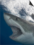 Great White Shark Head (Carcharodon Carcharias), Guadalupe Island, Mexico, Eastern Pacific Ocean Prints by Andy Murch