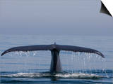 Blue Whale Tail Fluke (Balaenoptera Musculus), Baja California, Mexico Prints by Richard Hermann