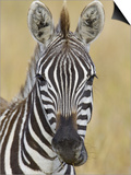 Zebra Chewing, Maasai Mara, Kenya, Africa Posters by Arthur Morris