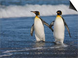 King Penguins (Aptenodytes Patagonicus) Walking Along the Beach, Salisbury Plain, South Georgia Posters by Don Grall