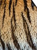 Close Up of the Bengal Tiger Fur and Stripe Pattern (Panthera Tigris) Poster by Adam Jones