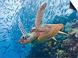 Green Sea Turtle (Chelonia Mydas), Malaysia Posters by Marty Snyderman