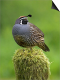California Quail (Callipepla Californica) Perched on a Mossy Tree Stump in Victoria Posters by Glenn Bartley