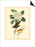 Canada Flycatcher Affiches par John James Audubon