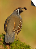 California Quail (Callipepla Californica) Perched, Victoria, BC, Canada Prints by Glenn Bartley