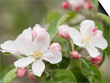 Apple Blossoms and Buds in the Spring Prints